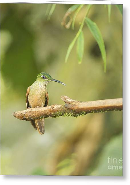 Fawn-breasted Brilliant Hummingbird Greeting Card by Dan Suzio