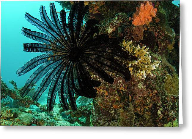 Feather Star (comasteridae Greeting Card by Pete Oxford