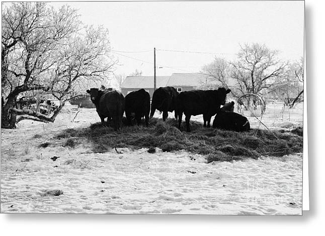 feed and fresh grass laid out for cows on winter farmland Forget Saskatchewan Canada Greeting Card by Joe Fox