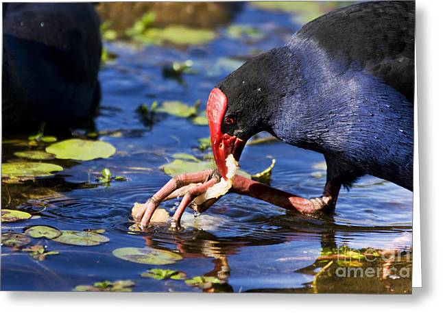 Feeding Red Billed Coot Bird Greeting Card by Jorgo Photography - Wall Art Gallery