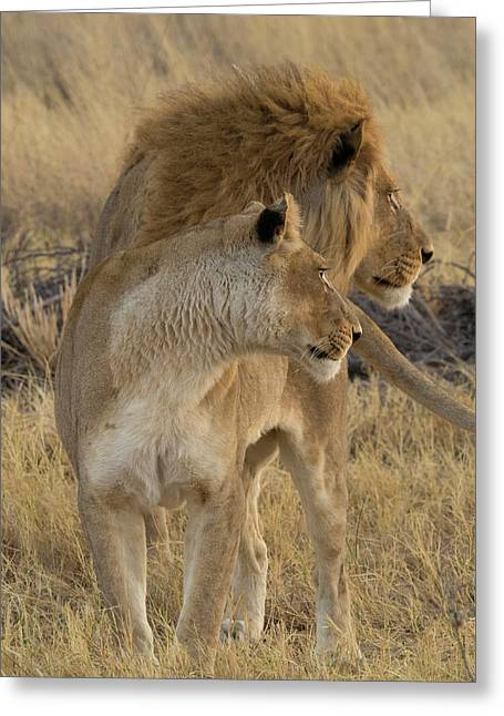 Female And A Male Lions Panthera Leo Greeting Card by Panoramic Images