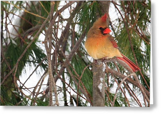 Female Cardinal Greeting Card by Everet Regal