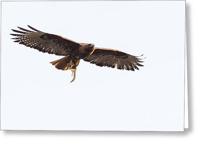 Female Red-tailed Hawk In Flight Greeting Card by Carl Jackson