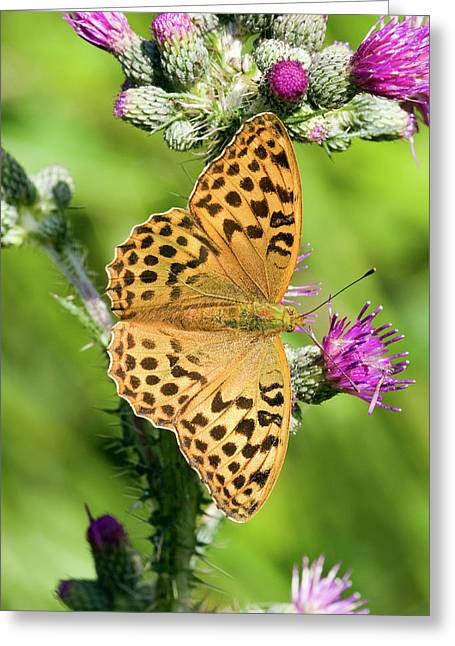 Female Silver-washed Fritillary Greeting Card by John Devries/science Photo Library