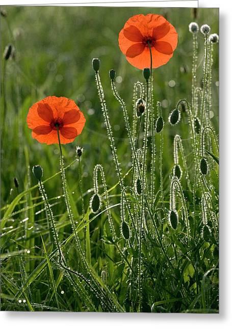 Field Poppy (papaver Rhoeas) Flowers Greeting Card by Bob Gibbons