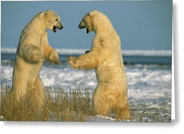Fighting Polar Bears Greeting Card by M. Watson
