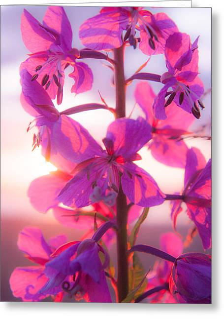 Fireweed At Sunset Greeting Card