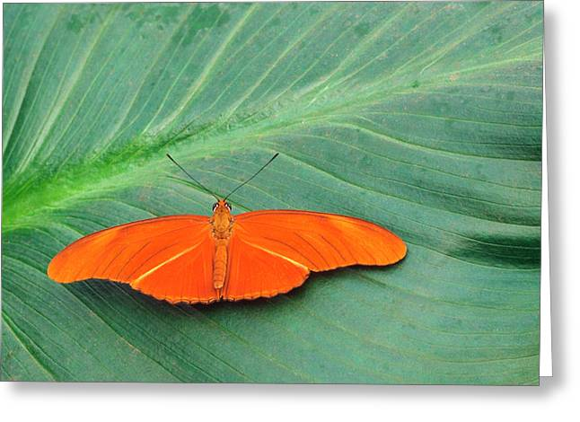 Flambeau Butterfly Greeting Card