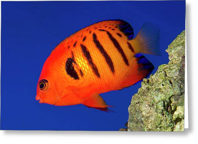 Flame Angelfish Greeting Card
