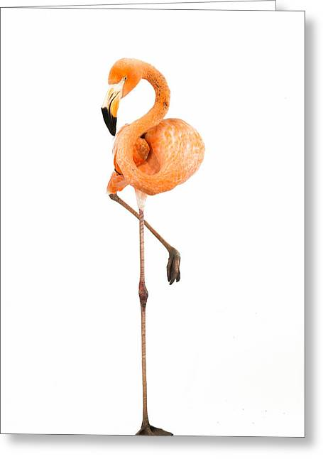 Flamingo On White Greeting Card