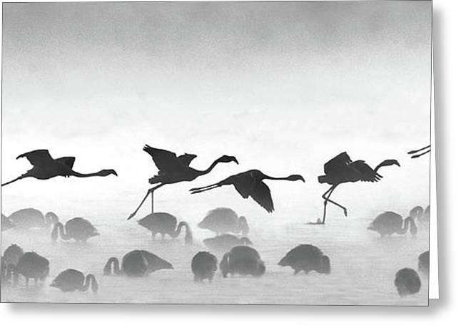 Flamingos Landing, Kenya Greeting Card by Panoramic Images