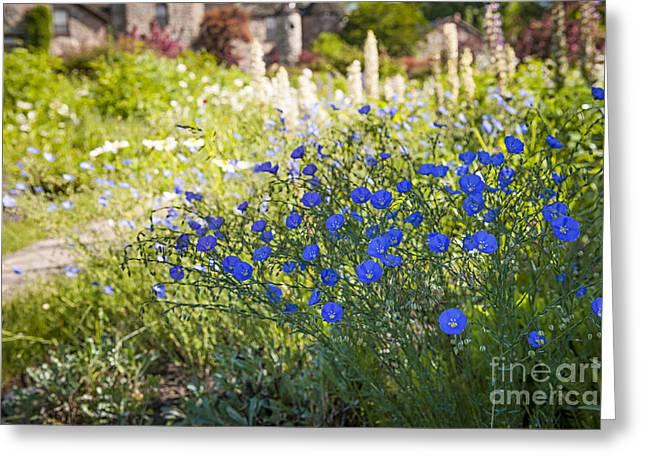 Flax Flowers In Summer Garden Greeting Card