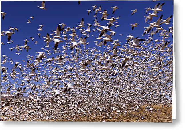 Flock Of Snow Geese Flying, Bosque Del Greeting Card