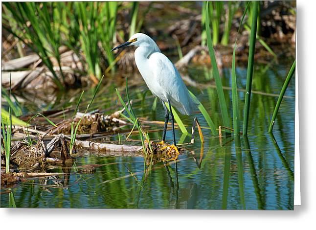 Florida, Immokalee, Snowy Egret Hunting Greeting Card