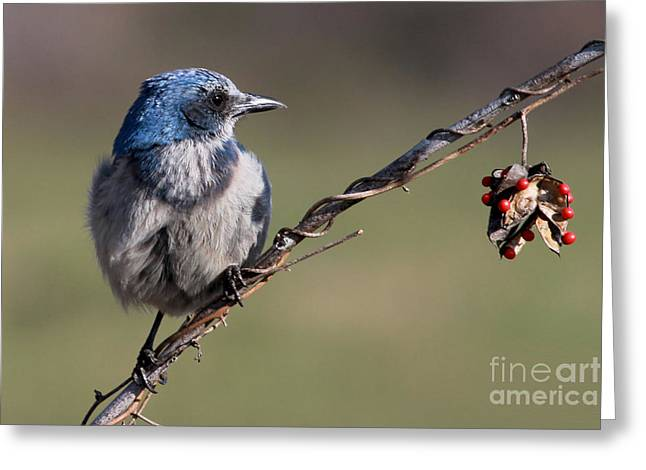 Florida Scrub Jay Greeting Card