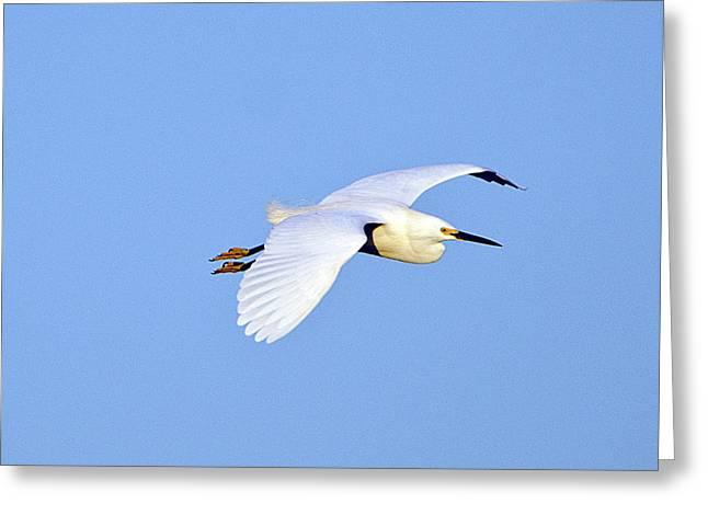 Florida, Venice, Snowy Egret Flying Greeting Card by Bernard Friel