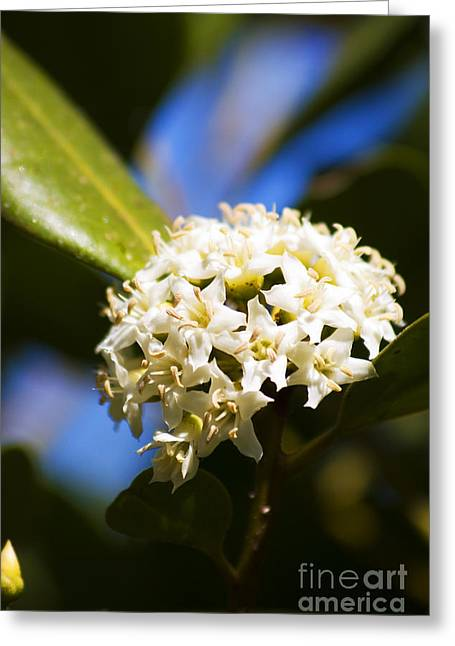 Flowering River Mangrove Greeting Card by Jorgo Photography - Wall Art Gallery