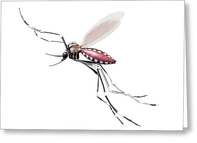 Flying Mosquito Greeting Card by Sciepro/science Photo Library