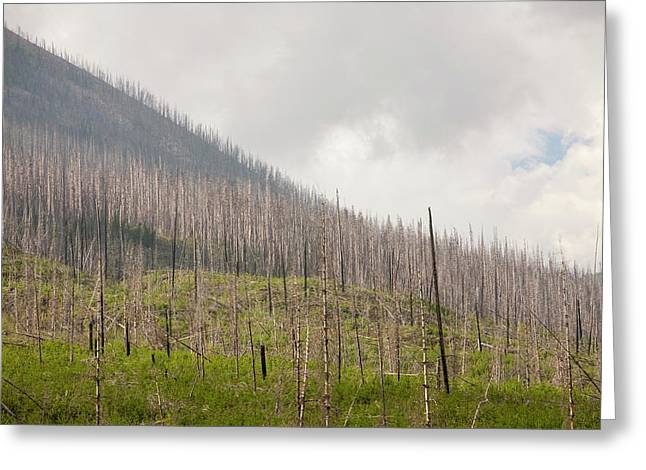 Forest Burnt By Mount Shanks Wild Fire Greeting Card