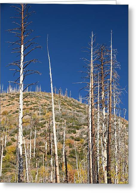 Forest Destroyed By Wild Fires Greeting Card by Ashley Cooper
