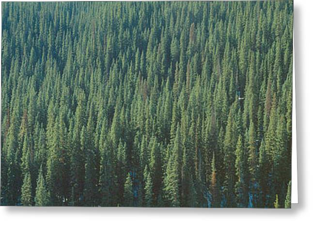 Forest Of Pine Trees, Colorado Greeting Card by Panoramic Images