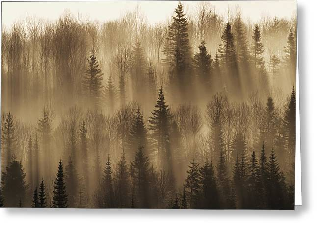 Forest Of Spruce Trees With Mist At Greeting Card by Philippe Henry