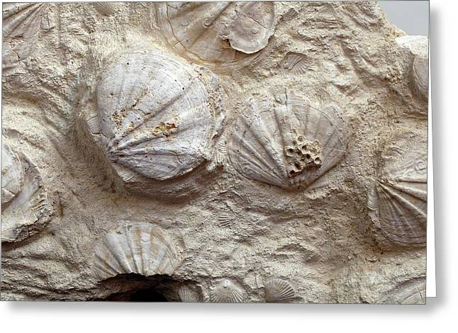 Fossil Scallops Greeting Card