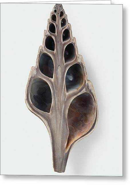 Fossilised Clavithes Shell Greeting Card by Dorling Kindersley/uig