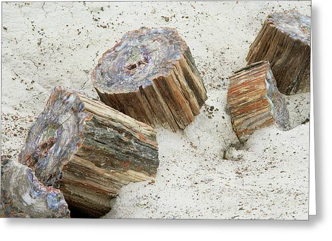 Fossilised Trees In Petrified Forest National Park Greeting Card by Simon Fraser/science Photo Library