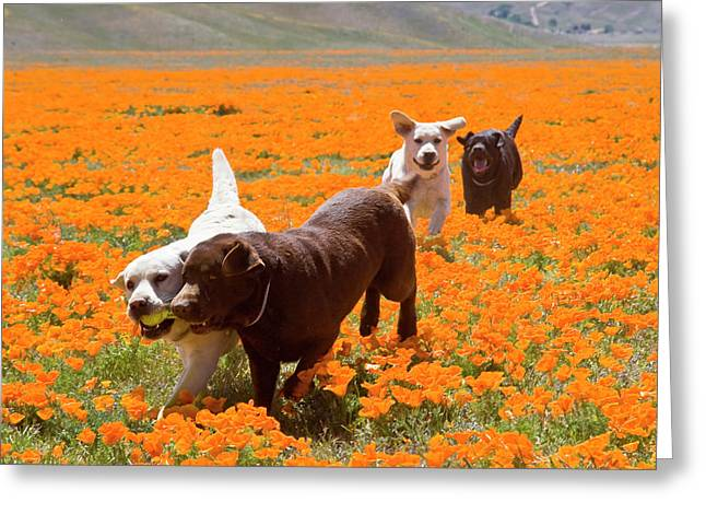 Four Labrador Retrievers Running Greeting Card by Zandria Muench Beraldo