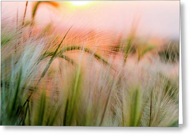 Foxtail Barley Near Regent, North Greeting Card