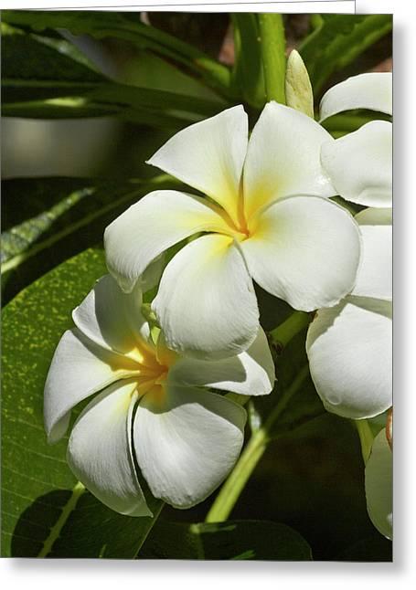 Frangipani Flowers (plumeria Greeting Card by David Wall