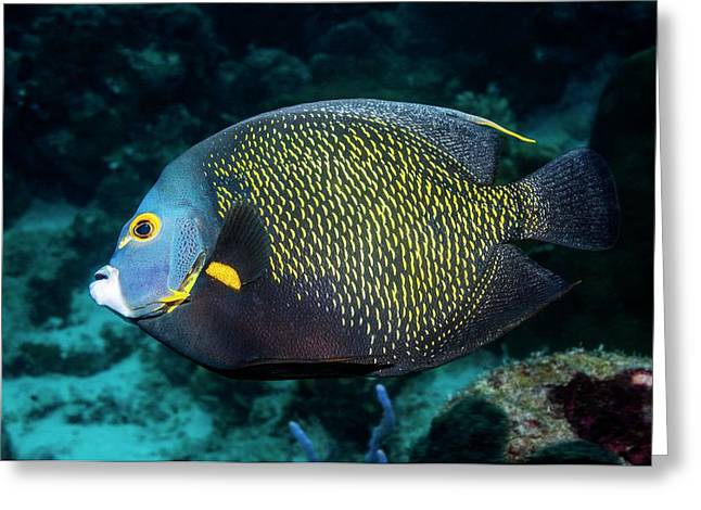French Angelfish Greeting Card by Georgette Douwma