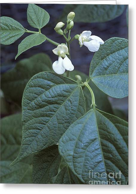 French Bean Phaseolus The Prince Greeting Card