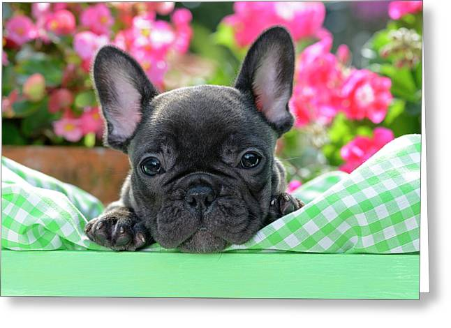 French Bulldog Puppy In Grean Box