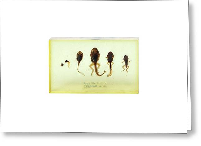 Frog Life Cycle Greeting Card by Gregory Davies