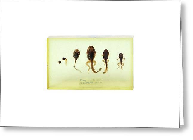 Frog Life Cycle Greeting Card