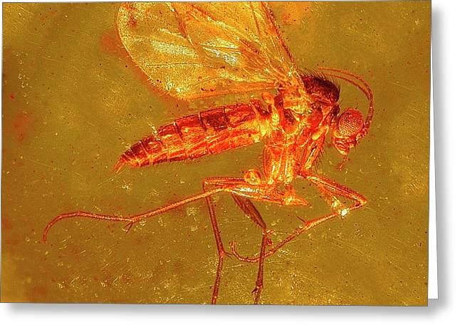 Fungus Gnat In Amber Greeting Card by Alfred Pasieka/science Photo Library