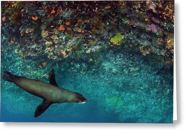 Galapagos Fur Seal (arctocephalus Greeting Card