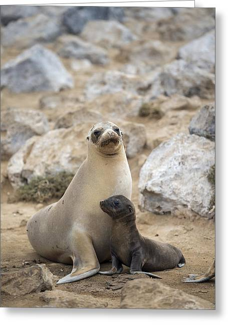 Galapagos Sea Lion And Pup Champion Greeting Card by Tui De Roy