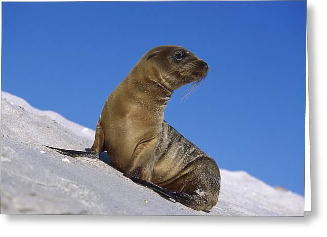 Galapagos Sea Lion Pup Galapagos Islands Greeting Card by Tui De Roy