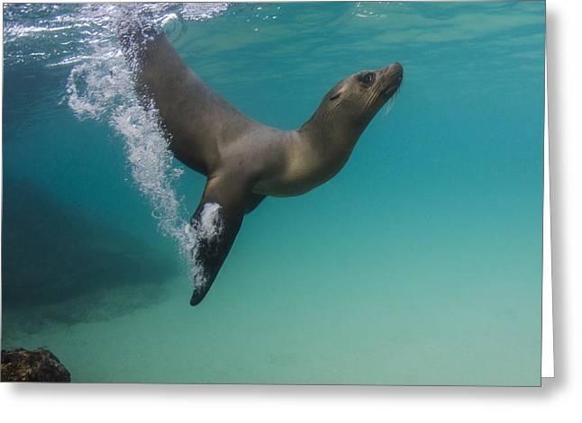 Galapagos Sea Lion Swimming Ecuador Greeting Card by Pete Oxford