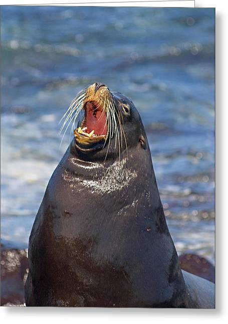Galapagos Sea Lion Zalophus Wollebaeki Greeting Card by Panoramic Images