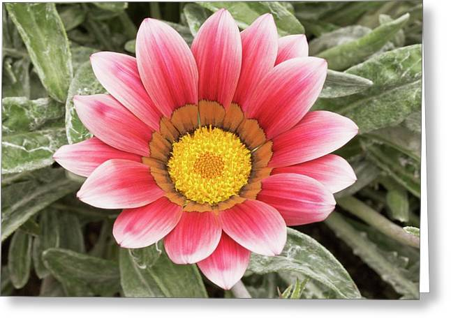 Gazania 'frosty Kiss' Flowers Greeting Card by Ann Pickford