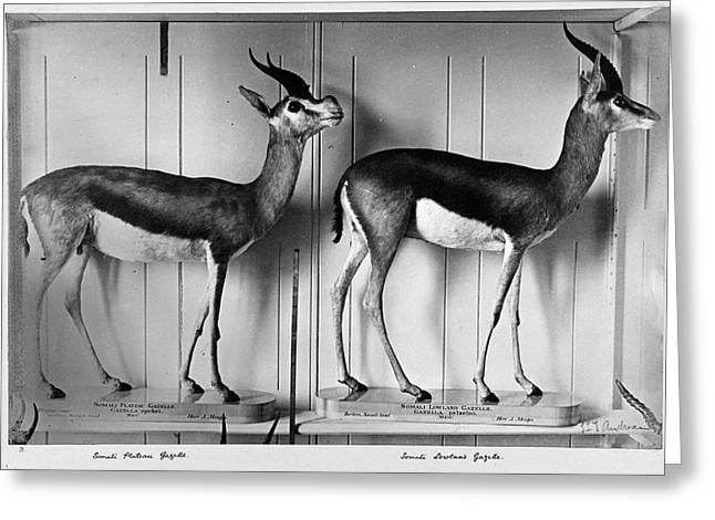 Gazelles In Lower Mammal Gallery Greeting Card