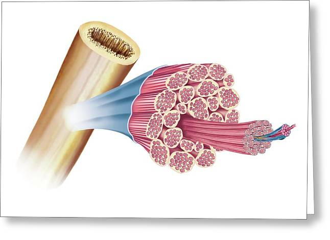 General Structure Of Skeletal Muscle Greeting Card by Asklepios Medical Atlas