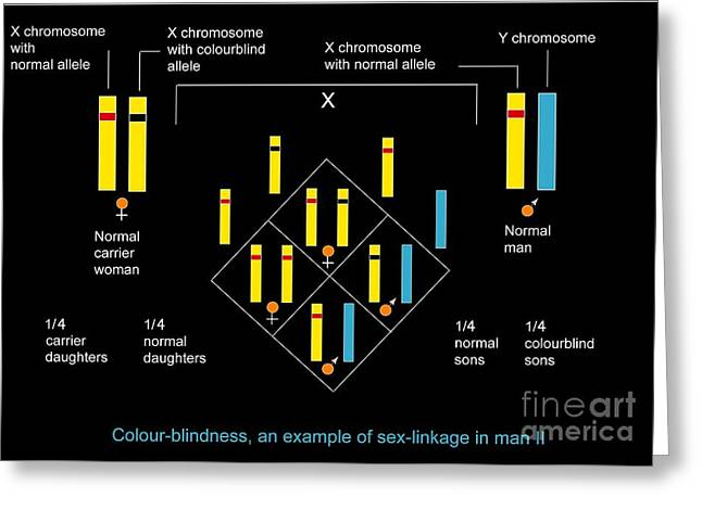 Genetics Of Color Blindness, Diagram Greeting Card by Francis Leroy, Biocosmos