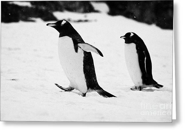 Gentoo Penguin Cooling Down With Wings Outstretched Walking On Cuverville Island Antarctica Greeting Card by Joe Fox