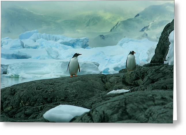 Gentoo Penguins Greeting Card by Amanda Stadther