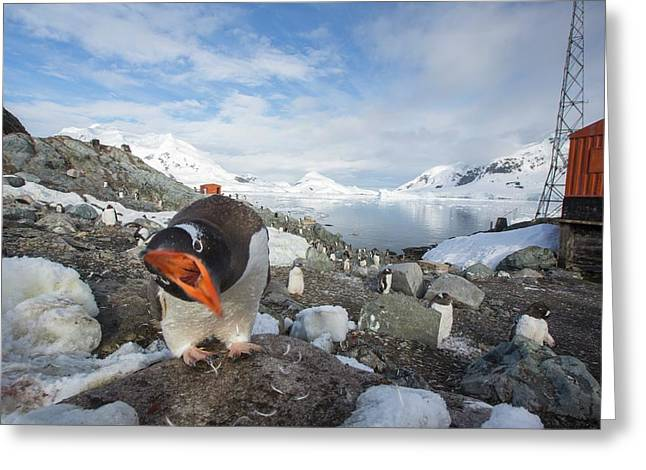 Gentoo Penguins Greeting Card